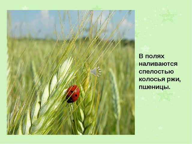 В полях наливаются спелостью колосья ржи, пшеницы.