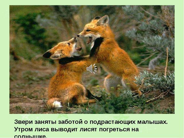 Звери заняты заботой о подрастающих малышах. Утром лиса выводит лисят погреть...