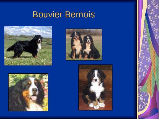 Bouvier Bernois