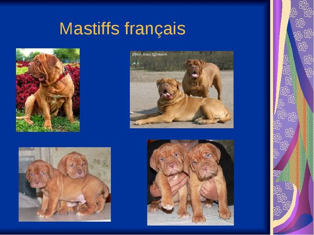 Mastiffs français