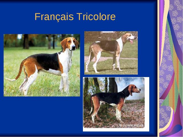 Français Tricolore
