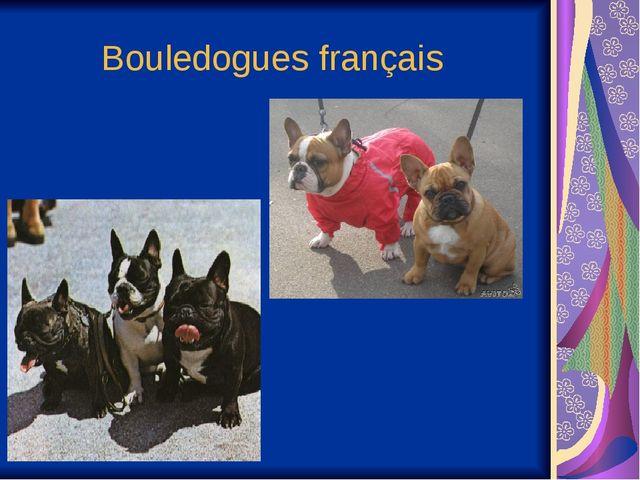 Bouledogues français