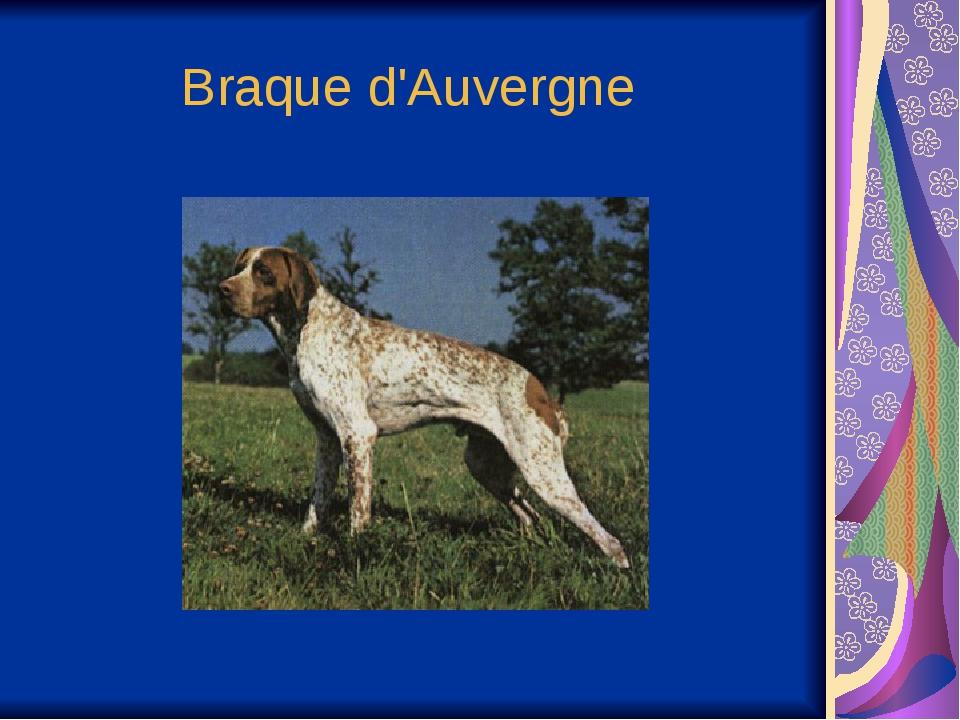 Braque d'Auvergne