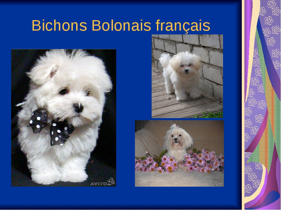 Bichons Bolonais français
