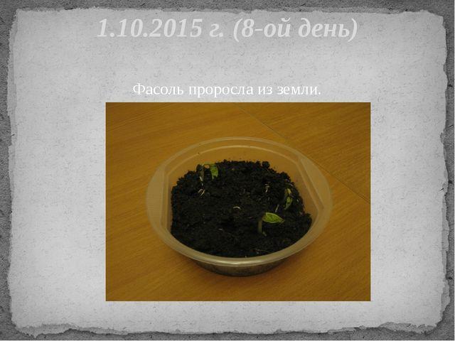 Фасоль проросла из земли. 1.10.2015 г. (8-ой день)
