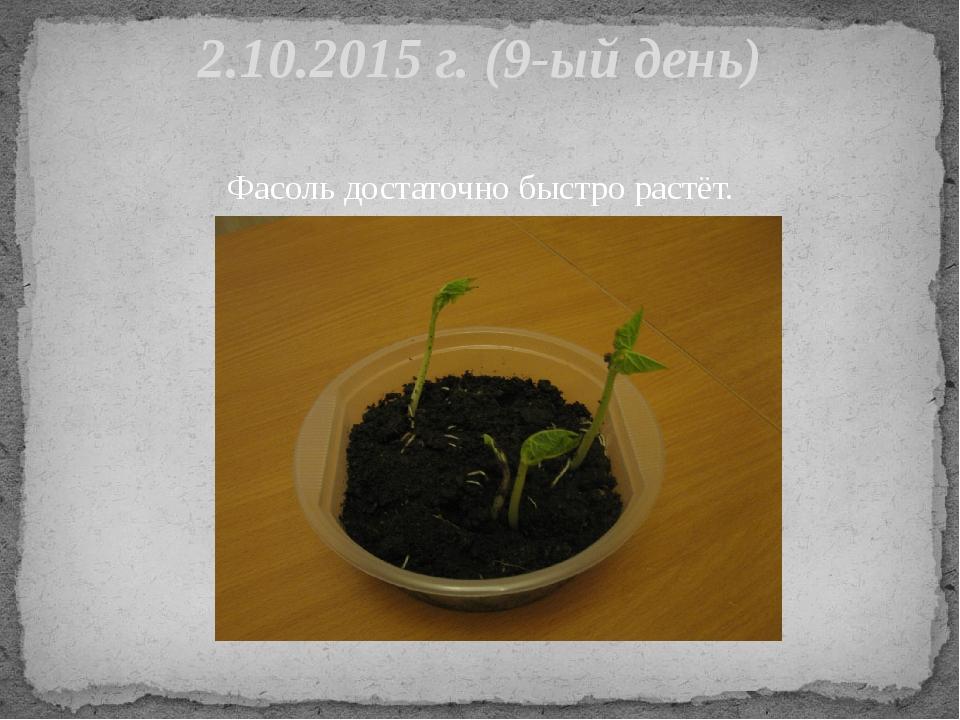 Фасоль достаточно быстро растёт. 2.10.2015 г. (9-ый день)