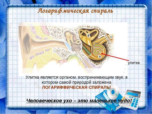 Логарифмическая спираль улитка Человеческое ухо – это маленькое чудо! Улитка...