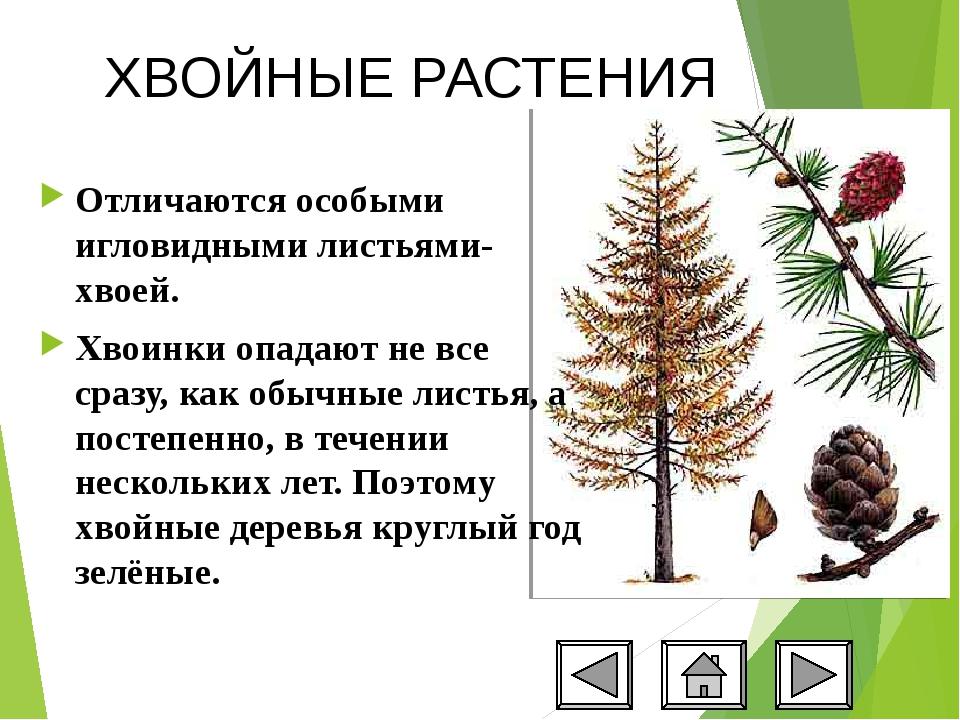 Хвойные растения картинки с описанием