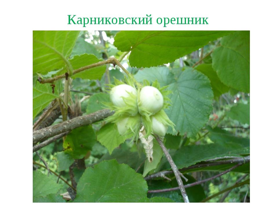 Карниковский орешник