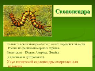 Сколопендра Кольчатая сколопендра обитает на юге европейской части России и С