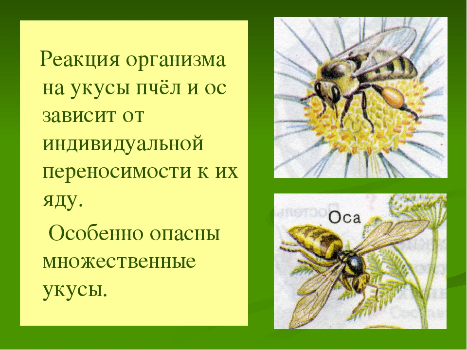 Реакция организма на укусы пчёл и ос зависит от индивидуальной переносимости...