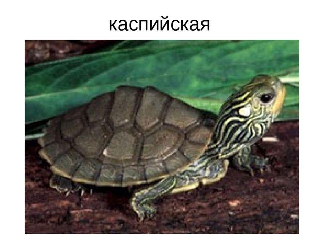 каспийская