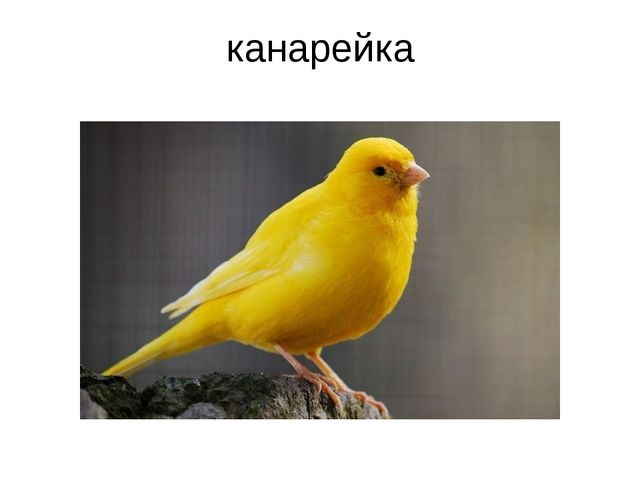 канарейка