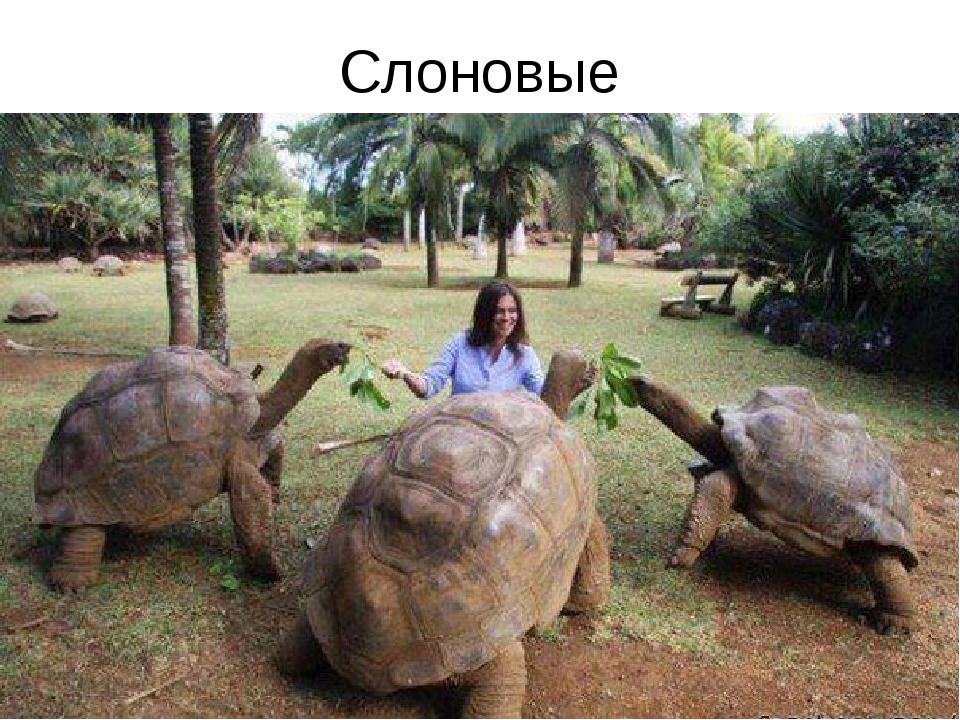 Слоновые
