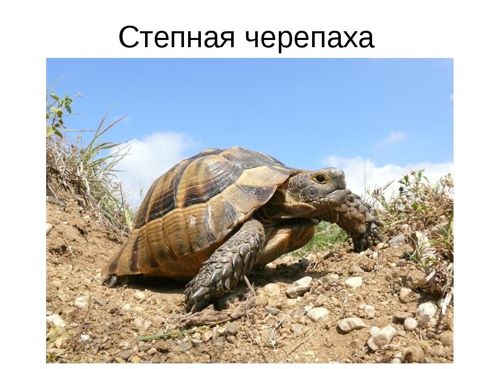 Степная черепаха