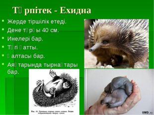 Түрпітек - Ехидна Жерде тіршілік етеді. Дене тұрқы 40 см. Инелері бар. Түгі қ