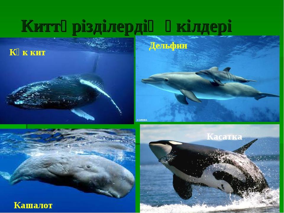 Киттәрізділердің өкілдері Көк кит Дельфин Кашалот Касатка