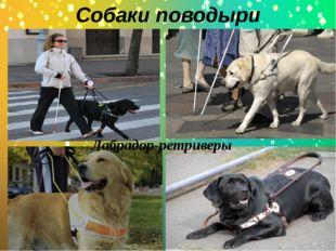 Собаки поводыри . Лабрадор-ретриверы