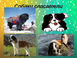 Собаки спасатели Cенбернары Cенбернары Ньюфаундленд