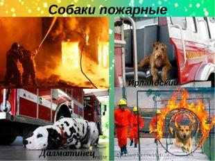 Собаки пожарные Далматинец Ирландский терьер.