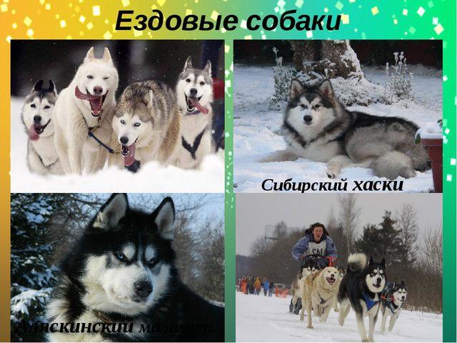 Ездовые собаки . Сибирский хаски Аляскинский маламут.
