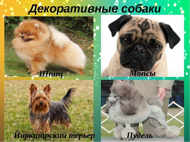 Декоративные собаки . Йоркширский терьер Мопсы Шпиц Пудель