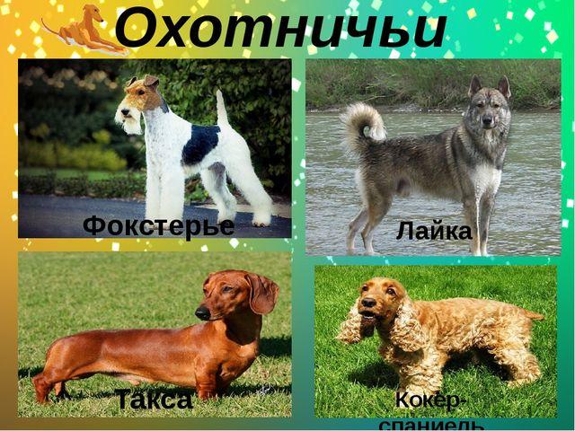 Охотничьи Фокстерьер Такса Лайка Кокер-спаниель