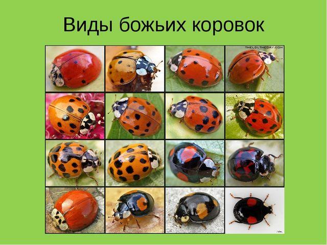 Коровка перевод русски мамба божья по
