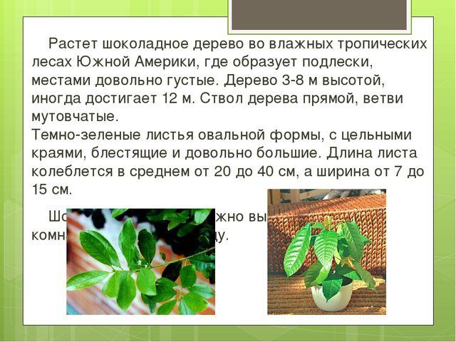 Растет шоколадное дерево во влажных тропических лесах Южной Америки, где обр...