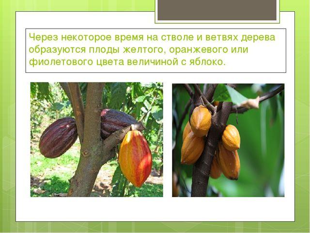 Через некоторое время на стволе и ветвях дерева образуются плоды желтого, ора...