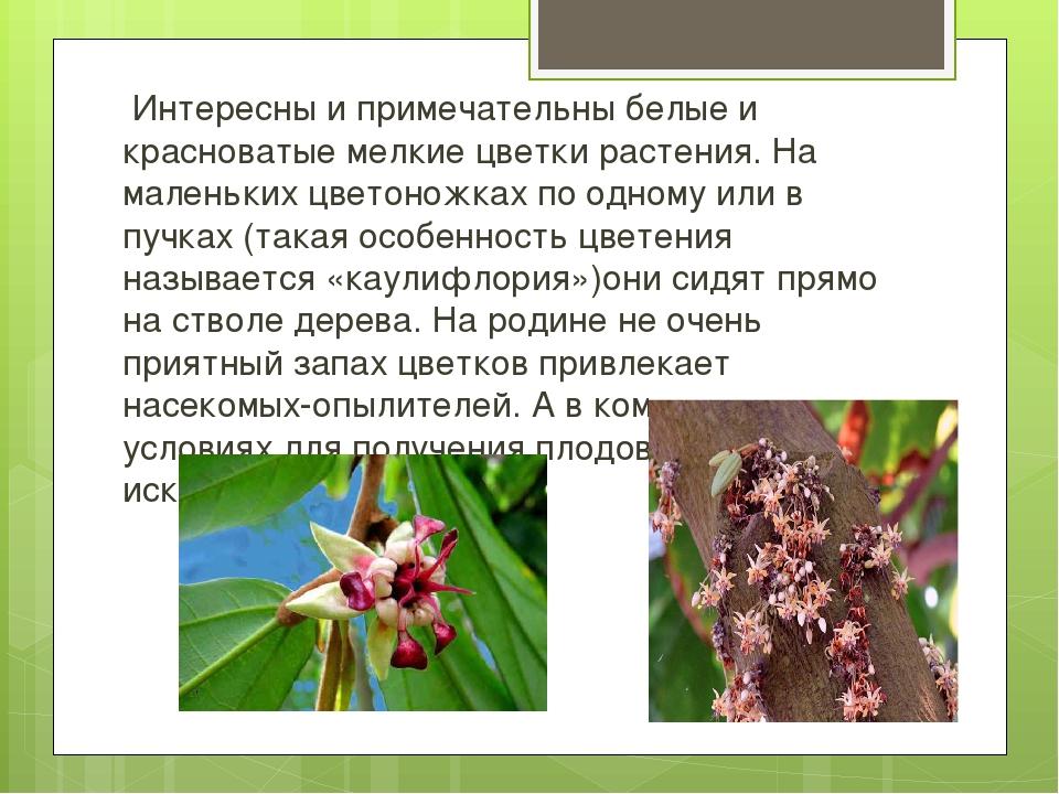 Интересны и примечательны белые и красноватые мелкие цветки растения. На мал...