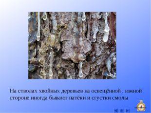 На стволах хвойных деревьев на освещённой , южной стороне иногда бывают натёк