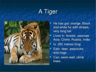 A Tiger He has got: orange. Black and white fur with stripes, very long tail