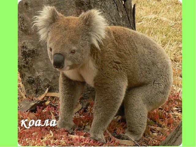 кенгуру коала