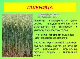 ПШЕНИЦА ПШЕНИЦА- родом из Средиземноморья. Пшеница выращивается двух сортов –