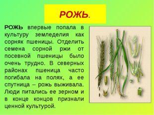 РОЖЬ. РОЖЬ впервые попала в культуру земледелия как сорняк пшеницы. Отделить