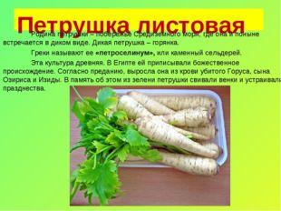 Петрушка листовая Родина петрушки – побережье Средиземного моря, где она и п