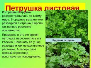 Петрушка листовая Из Греции петрушка распространилась по всему миру. В средни