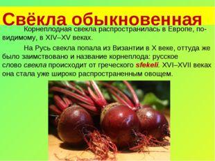 Свёкла обыкновенная Корнеплодная свекла распространилась в Европе, по-видимо