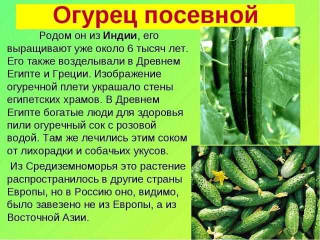 Огурец посевной Родом он из Индии, его выращивают уже около 6 тысяч лет. Его...
