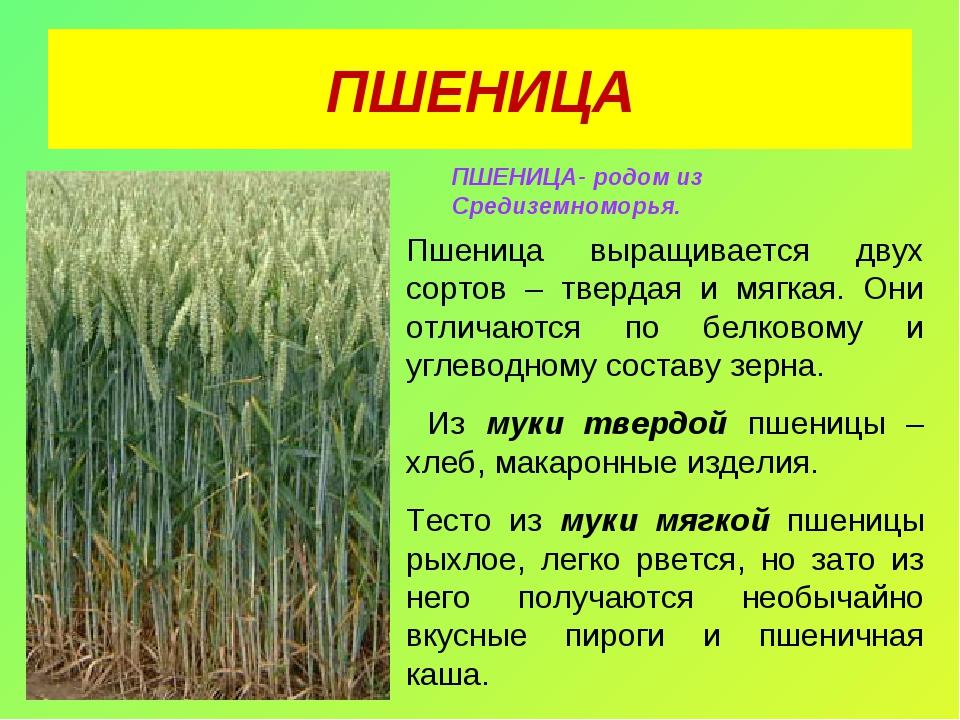 ПШЕНИЦА ПШЕНИЦА- родом из Средиземноморья. Пшеница выращивается двух сортов –...