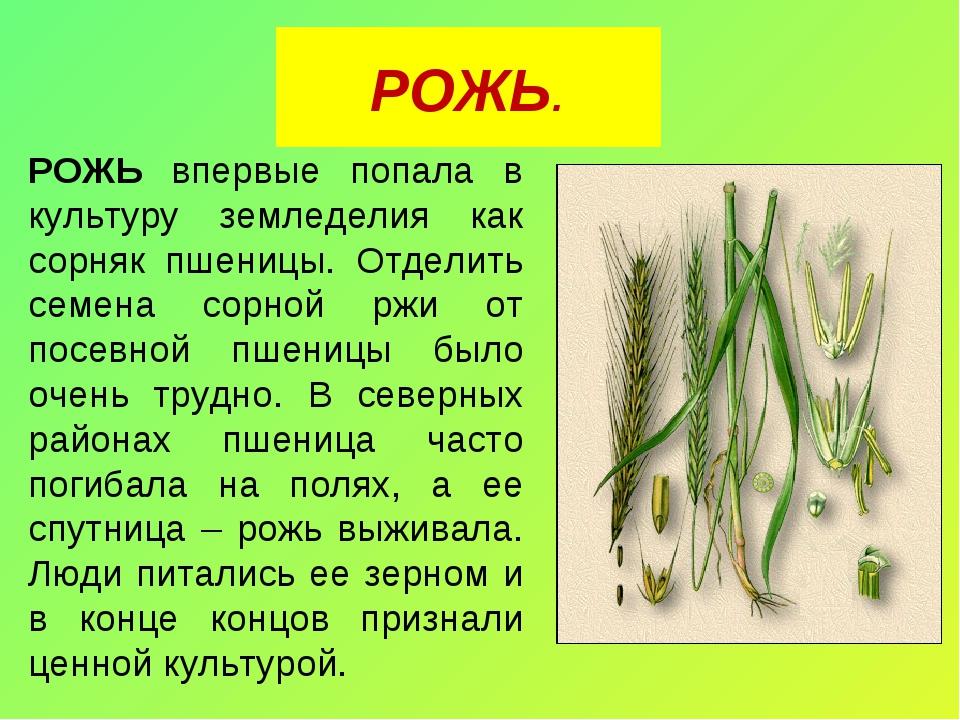 РОЖЬ. РОЖЬ впервые попала в культуру земледелия как сорняк пшеницы. Отделить...