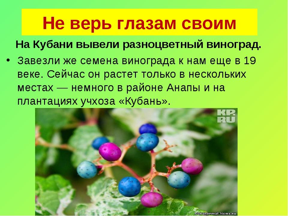 Не верь глазам своим На Кубани вывели разноцветный виноград. Завезли же сем...