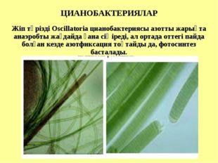 ЦИАНОБАКТЕРИЯЛАР Жіп тәрізді Oscillatoria цианобактериясы азотты жарықта ана