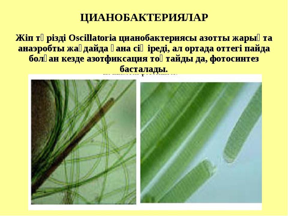 ЦИАНОБАКТЕРИЯЛАР Жіп тәрізді Oscillatoria цианобактериясы азотты жарықта ана...