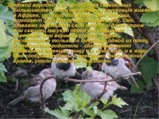 Домовой воробей – из семейства Ткачиковых. Большинство птиц семейства Ткачико