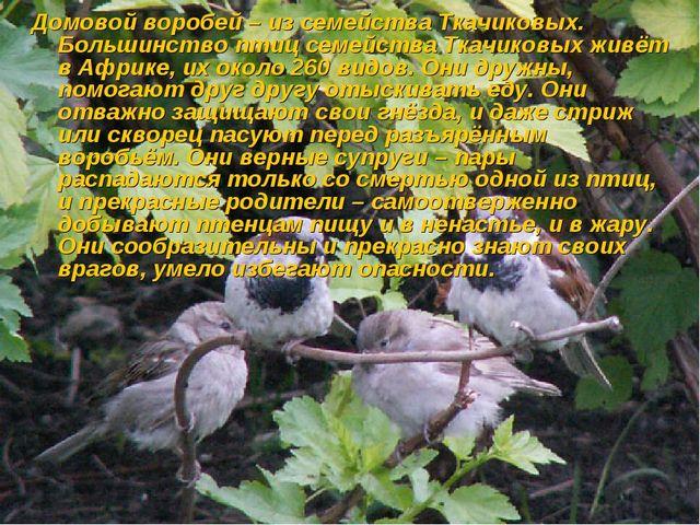 Домовой воробей – из семейства Ткачиковых. Большинство птиц семейства Ткачико...