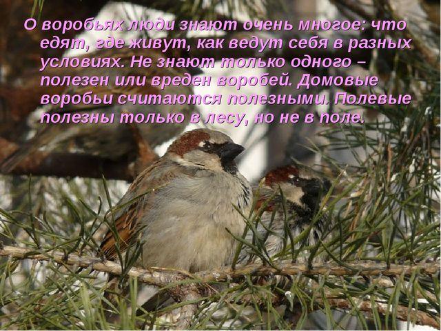 О воробьях люди знают очень многое: что едят, где живут, как ведут себя в раз...