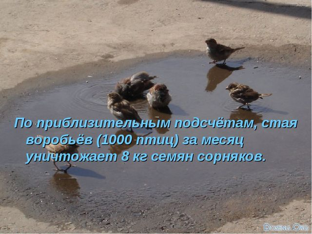 По приблизительным подсчётам, стая воробьёв (1000 птиц) за месяц уничтожает 8...