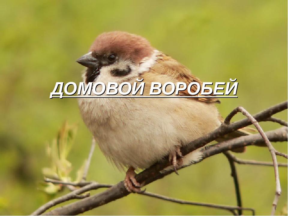 ДОМОВОЙ ВОРОБЕЙ